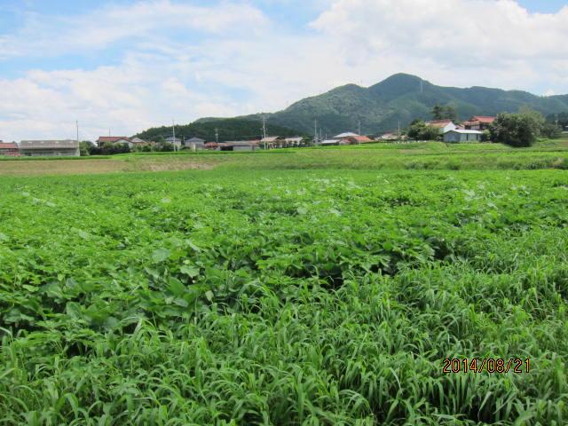 雑草に埋もれた大豆畑2