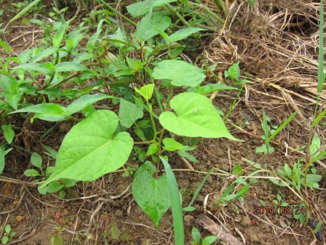 アサガオの芽