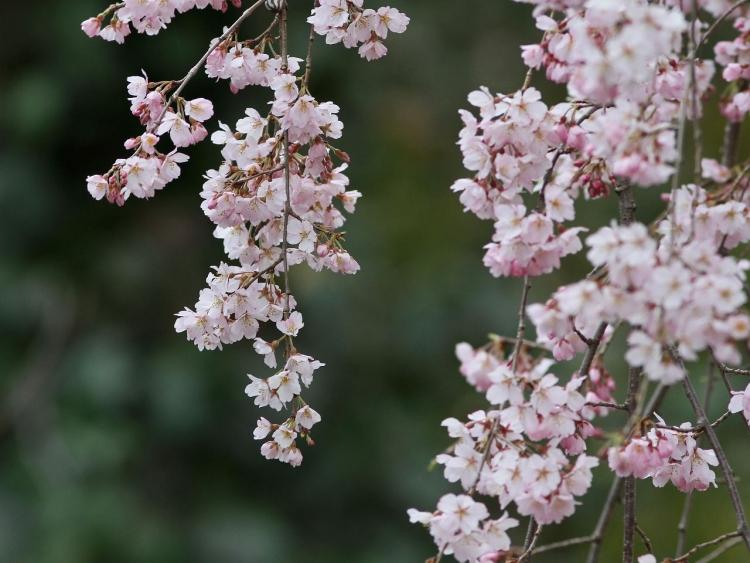 しだれ桜IMG_4620s