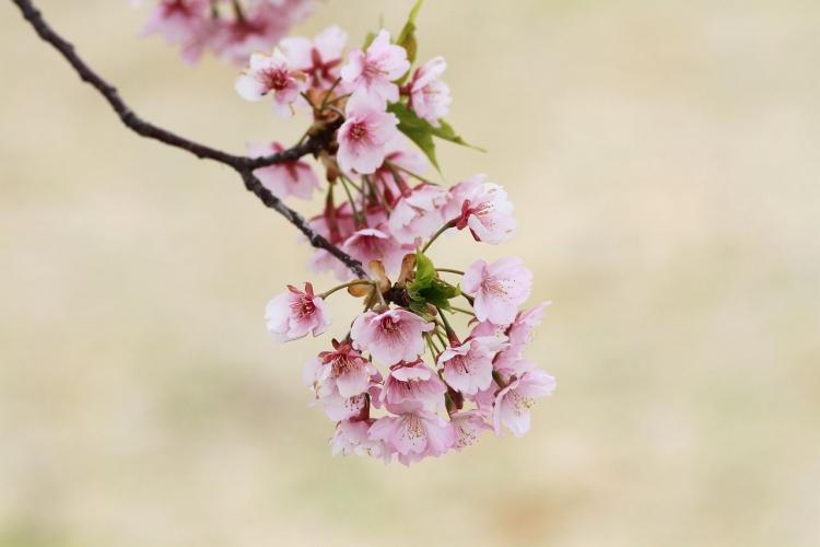 川津桜IMG_4635s