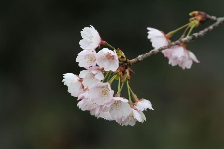 大寒桜IMG_4609s
