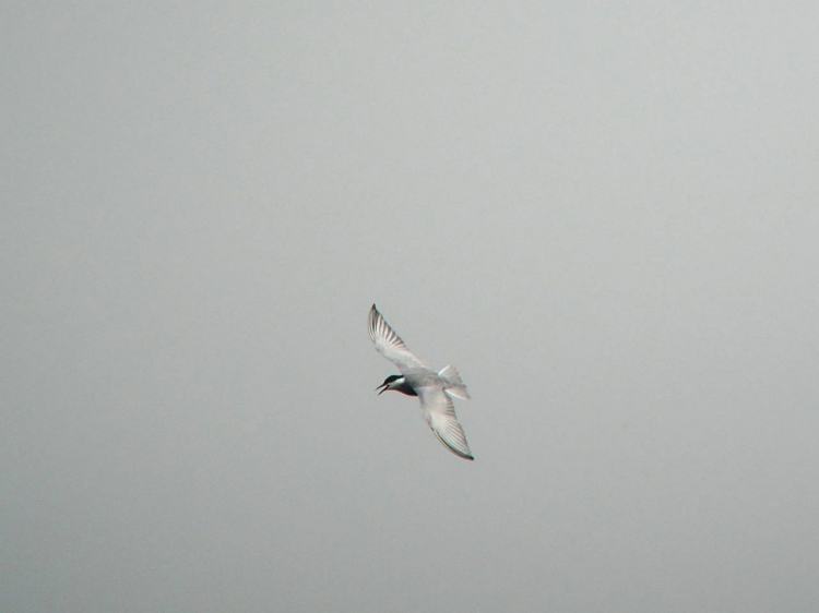 03クロハラアジサシDSCN3180s