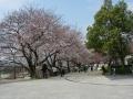 140329御幸橋背割の桜