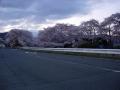 140405夜明け前、井手玉川の桜