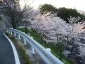 140405大正池和束側ヘアピンの桜