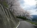 140405帰路の上り、大正池和束側の桜1