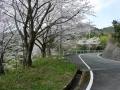 140405帰路の上り、大正池和束側の桜2