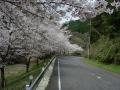 140405帰路の下り、大正池井手側の桜