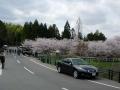140405井手町桜まつり1