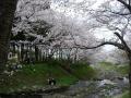 140405井手町桜まつり2