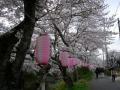 140405井手町桜まつり3