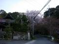 140412柳谷周回、乗願寺の桜1