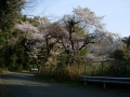 140412柳谷周回、島本側ルートピーク近くの桜