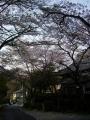 140412柳谷周回、乗願寺の桜2