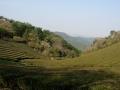 140419金胎寺から犬打峠への下り。茶畑2