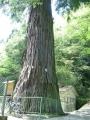 140501杉王神社の大杉1