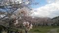 140406中央公園の桜