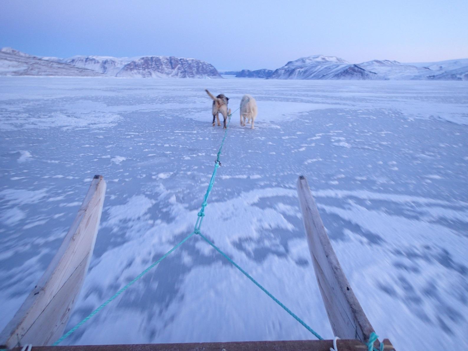 2頭で海氷を走る