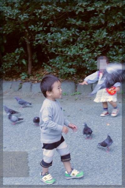 鳩 ドバト カワラバト 201110 鎌倉