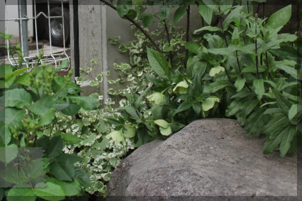 グレコマ 斑入りカキドオシ
