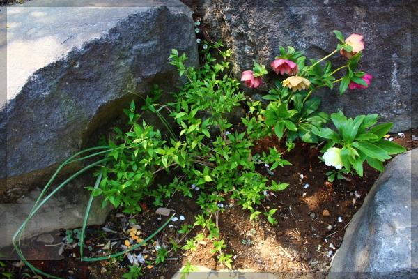 姫ウツギ 庭の花 20140410