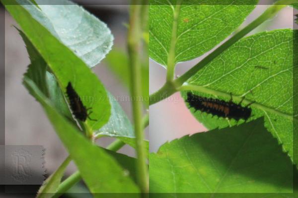 益虫 テントウムシ 幼虫  20140515