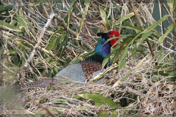 キジ 野鳥 20140417