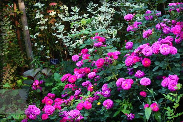 トレジャーガーデン 20140525 花弁20140529