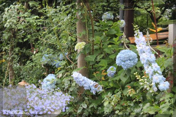 メインガーデン 青い花 アジサイ デルフィニウム 20140605
