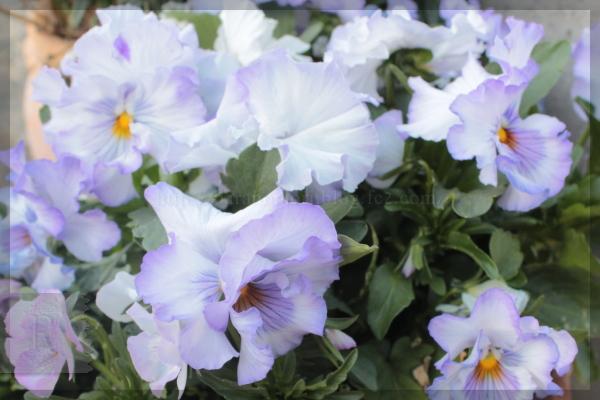 庭の花 ビオラ 20140411