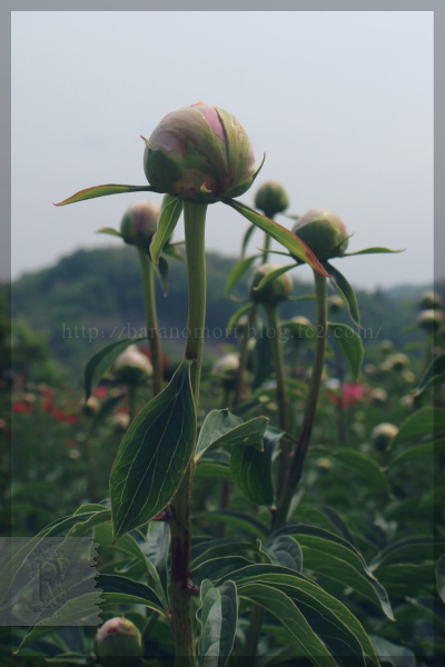 20140513 芍薬園