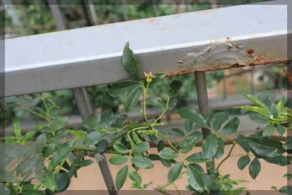 黄モッコウに種 キモッコウに種 20140706