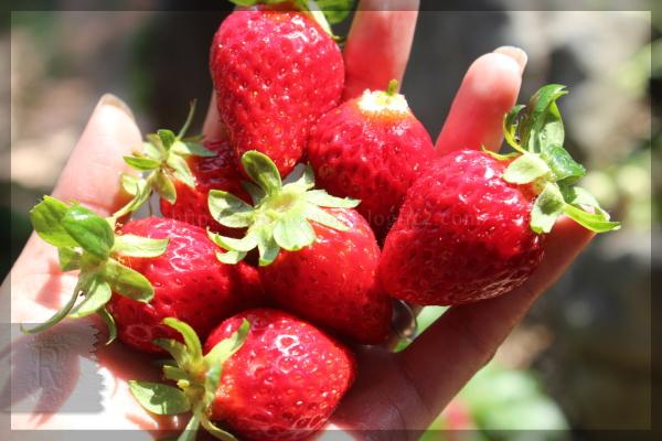 イチゴ いちご 苺 20140530