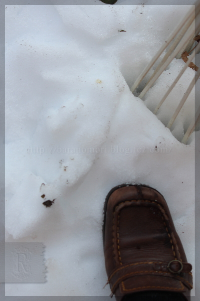 大雪 バラの被害 20140220