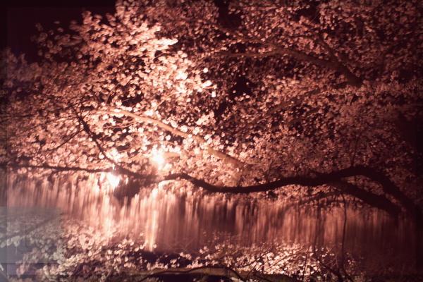 夜桜 2014 お堀の桜 20140406