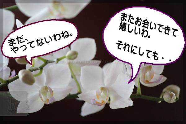 胡蝶蘭 なごり雪 20140702