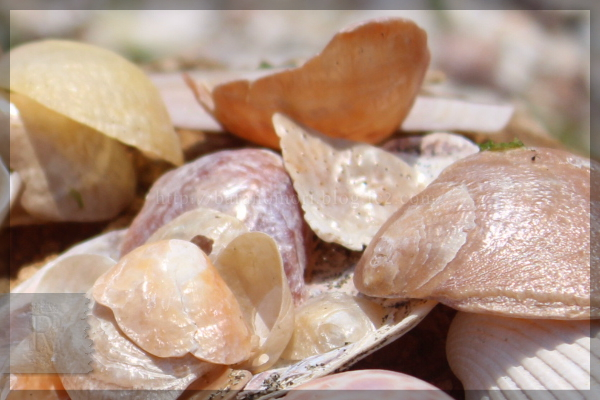 潮干狩り 20140531 貝殻 ナミマガシワ