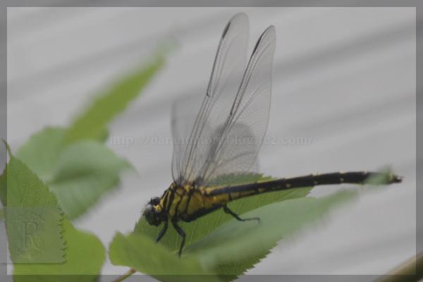20140503 虫 トンボ コオニヤンマ