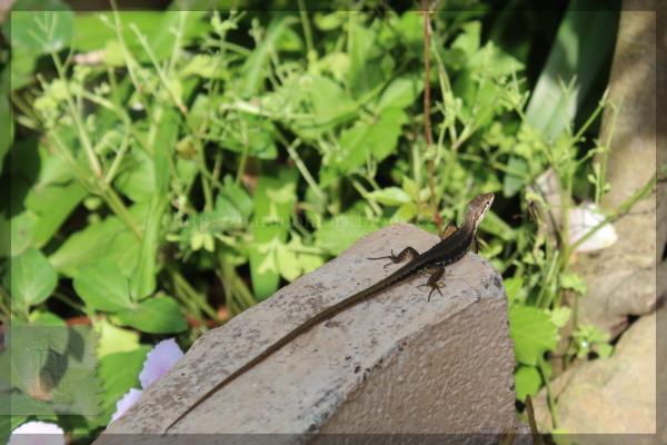 カナヘビ 20140609