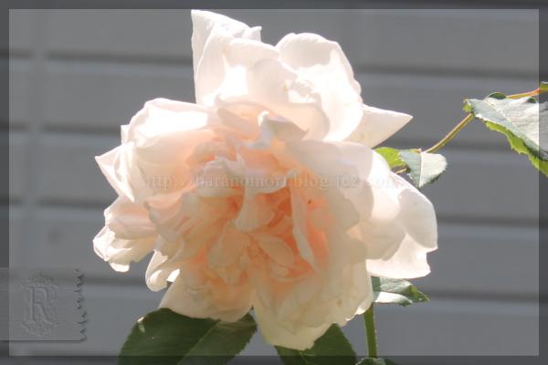 マダムアルフレッドキャリエール 20140523