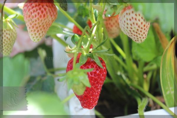 イチゴ 20140527 いちご 苺