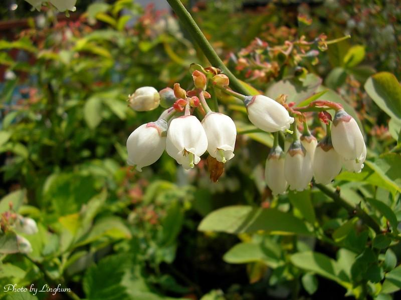 blueberry_0805111.jpg