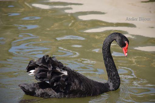 050-黒鳥