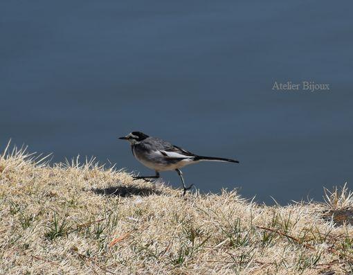 055-野鳥ハクセキレイ