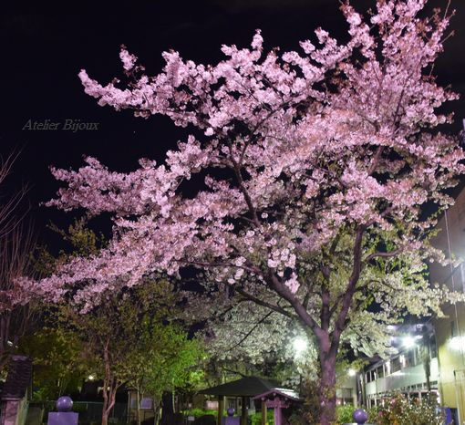 032-夜桜