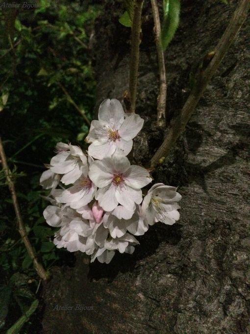 096-夜桜