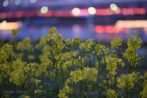 091-菜の花玉ボケ