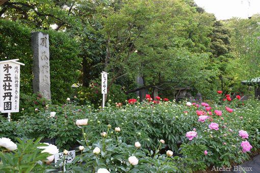 059西新井大師境内の芍薬