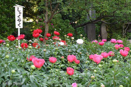 061-西新井大師境内の芍薬
