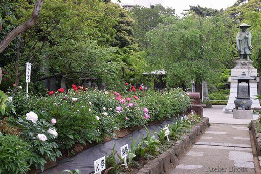 119-西新井大師境内の芍薬